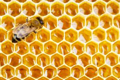 Working bee on honeycomb cells. Close up Royalty Free Stock Photo