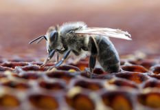 Working bee. On honeycomb. A close up Royalty Free Stock Photo