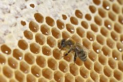 Working bee on honeycomb Royalty Free Stock Photography