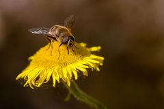 Working bee looks for nectar. Royalty Free Stock Photos