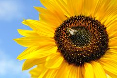 Working Bee On Sunflower Royalty Free Stock Photo