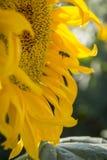 Working bee Stock Photography