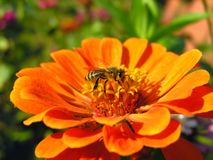 Working bee on the zinnia flower stock images