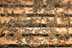 Working bees. Group of bees work hard to collect honey Stock Image