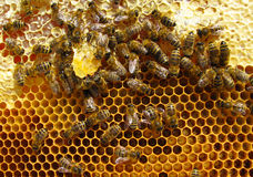 Working bees. Inside cells are young larvae. Close up macro Royalty Free Stock Photography