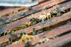Working bees Royalty Free Stock Image
