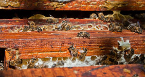 Working bees. Close up view of the working bees on honeycells Stock Image