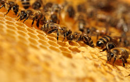 Working Bees Royalty Free Stock Photography