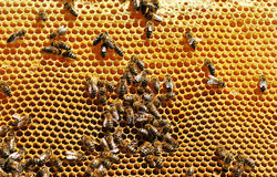 Working Bees Royalty Free Stock Photo