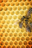 Working Bees. On honeycombs.Close-up image stock photos