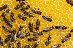 Working bees on honey cells Royalty Free Stock Photo