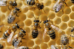 Working bees on honeycells Stock Image