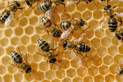 Working bees on honeycells Stock Photography