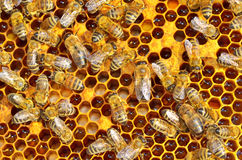 Working bees on honeycells Stock Photos
