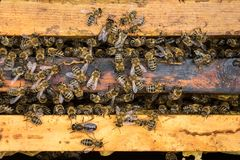 The working bees on honeycells royalty free stock image
