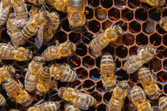 Working bees on honeycomb Royalty Free Stock Images