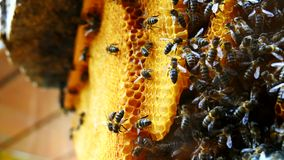 Working bees on honeycomb (4K) stock video