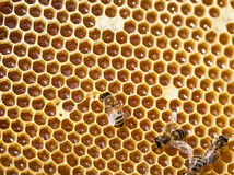 Working bees on honeycomb. Royalty Free Stock Photography