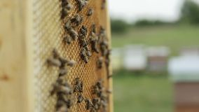 Working bees swarming on honeycomb stock video