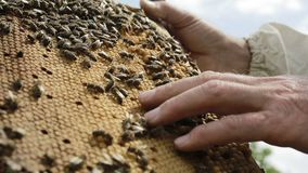 Working bees swarming on honeycomb stock footage