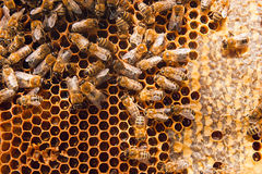 Working bees on the yellow honeycomb with sweet honey. Stock Images