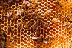 Working bees on the yellow honeycomb with sweet honey. Stock Photo