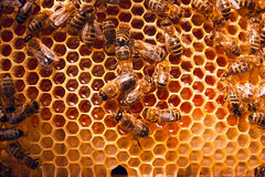 Working bees on the yellow honeycomb with sweet honey. Stock Image