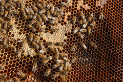 Working bees on the yellow honeycomb with sweet honey. Close up view of the working bees on the honeycomb with sweet honey. Honey is beekeeping healthy produce stock photography
