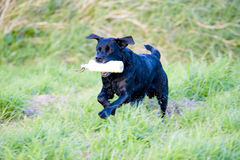 Working black labrador retriever. A working champion black Labrador retriever in training, running and jumping with a training dummy Royalty Free Stock Photography