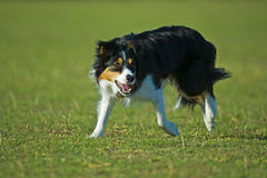 Working Border Collie Royalty Free Stock Photography