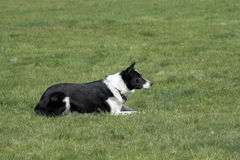 Working Border Collie Stock Images