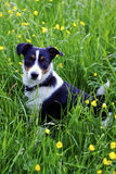 Working border jack. Farm dog relaxing in a meadow of buttercups after a hard days work Royalty Free Stock Photography