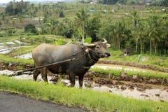 Working buffalo Stock Photo