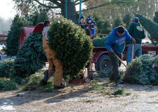 Working at a christmas tree farm Stock Images