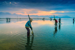 Working in clam farm Stock Images