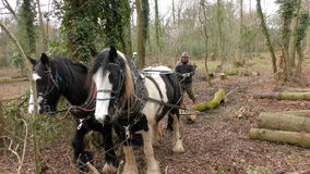 Working Cob Horses stock video footage