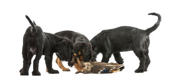 Working Cocker Spaniel puppies sniffing Royalty Free Stock Photography