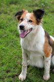 Working collie sheep dog Stock Image