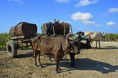 Working cows in Cuba Royalty Free Stock Images