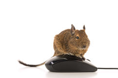 Working Degu Stock Image