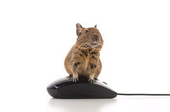 Working Degu Royalty Free Stock Photo