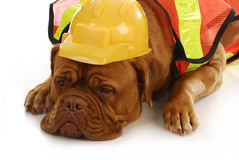 Working dog Royalty Free Stock Image