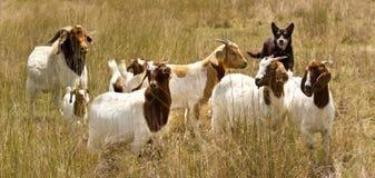 Working dog australian kelpie herds goats stock images