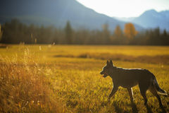 Working dog Royalty Free Stock Photography