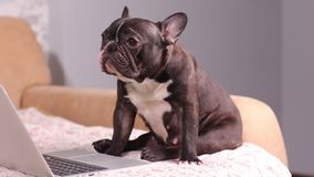 Working dog. Cute dog is working on a silver laptop. Dog breed : french bulldog. Working dog. Cute dog is working on a silver laptop. Dog breed : french bulldog stock video footage