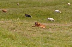 Dog herding. Working dog herding cow herd royalty free stock image