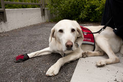 Working Dog with Service Vest On. This mild tempered american lab is a Psychiatricservice dog providing a source of calmness when needed Stock Photography