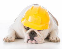 working dog wearing construction hat Stock Photos