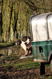 Working dogs. Working spaniels taking a rest on the back of a vehicle Stock Photography