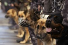 Working dogs Royalty Free Stock Images